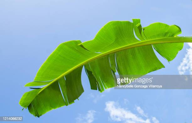 full banana leaf against the blue sky. - banana tree stock pictures, royalty-free photos & images