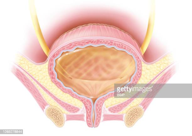 Full bladder anatomy in frontal section in women This medical illustration represents the structure of the bladder and its relationships and lower...