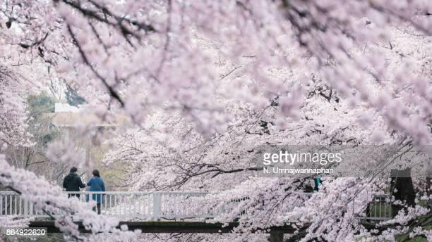 Full bloom cherry blossom in Tokyo