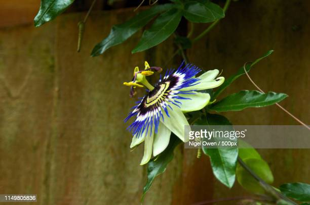 full bloom - nigel owen stock pictures, royalty-free photos & images