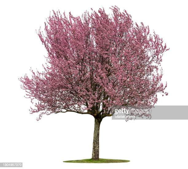 full bloom pink cherry blossoms or sakura flower tree isolated on white background. high resolution. - branch stock pictures, royalty-free photos & images