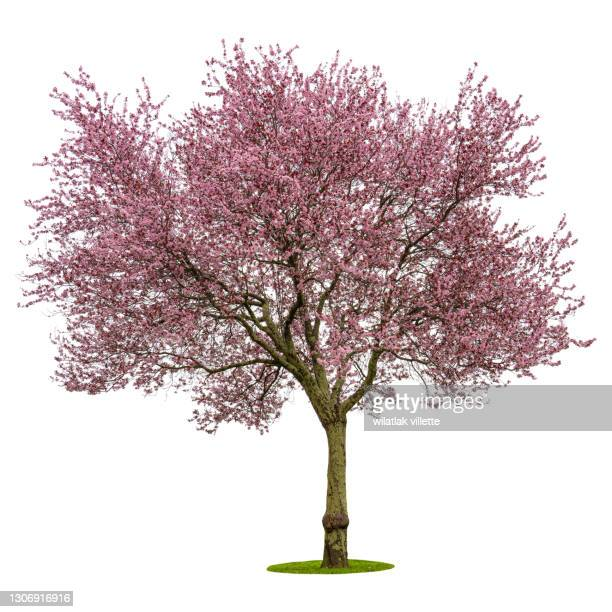 full bloom pink cherry blossoms or sakura flower tree isolated on white background. high resolution - ciruela fotografías e imágenes de stock