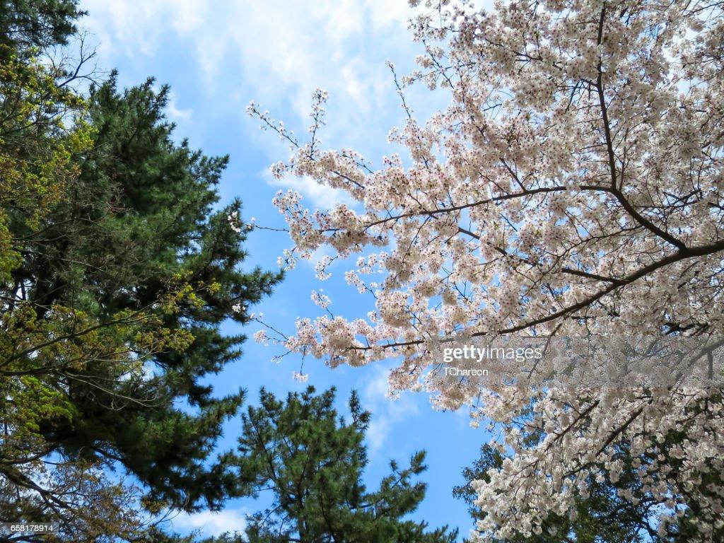 Full bloom pink sakura branches and evergreen tree scene with blue full bloom pink sakura branches and evergreen tree scene with blue sky background on sunny day izmirmasajfo