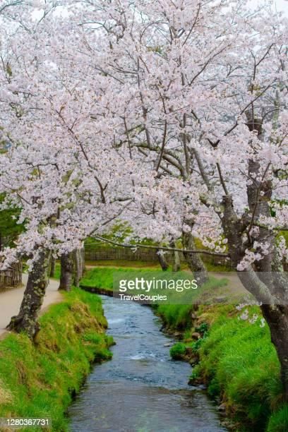 full bloom sakura. cherry blossom at hirosaki park, in hirosaki, japan. cherry blossoms at kawageta fukushima ,japan - kawagoe stock pictures, royalty-free photos & images