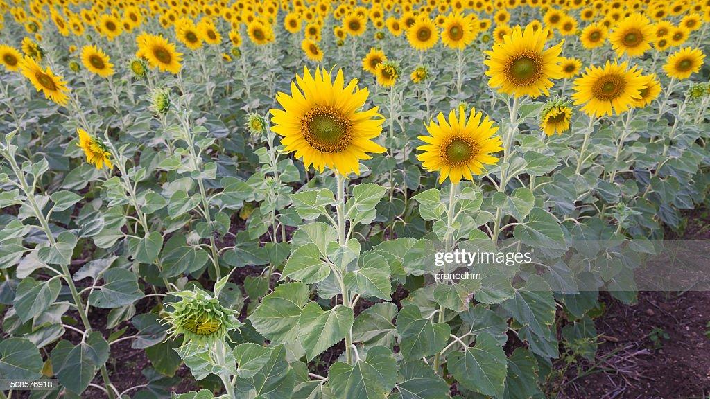 Voller Blüte Sonnenblumen-Feld : Stock-Foto