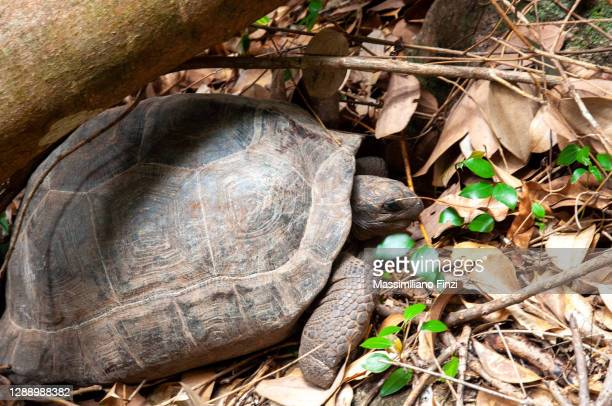 full body of giant tortoise aldabrachelys gigantea hololissa, curieuse island, seychelles - 100th anniversary stock pictures, royalty-free photos & images