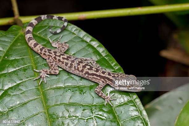 full body shot of a marbled bent-toed gecko - squamata stock photos and pictures