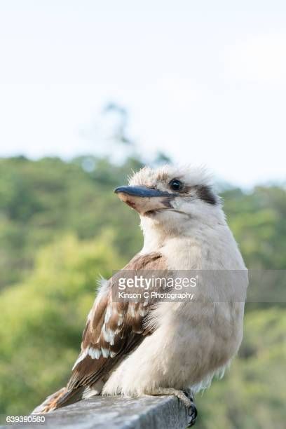 Full body view of a kookaburra standing on garden fence