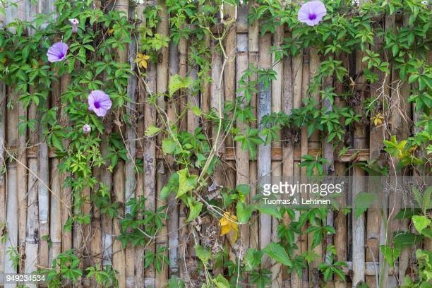 full frame background of an old and aged bamboo fence with flowering vine plant - bamboo plant stock photos and pictures