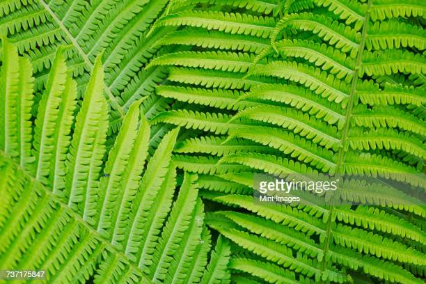 Full frame close up of fern fronds.