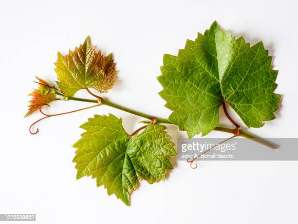 3 049 Grape Leaf Photos And Premium High Res Pictures Getty Images