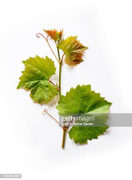 full frame, close-up of  grapevine with green leaves on a white background. - grape leaf stock pictures, royalty-free photos & images