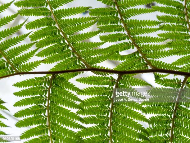 Full frame, close-up of leaf green outdoors illuminated by the light of the Sun. Fern in a greenhouse, (Dryopteridaceae).