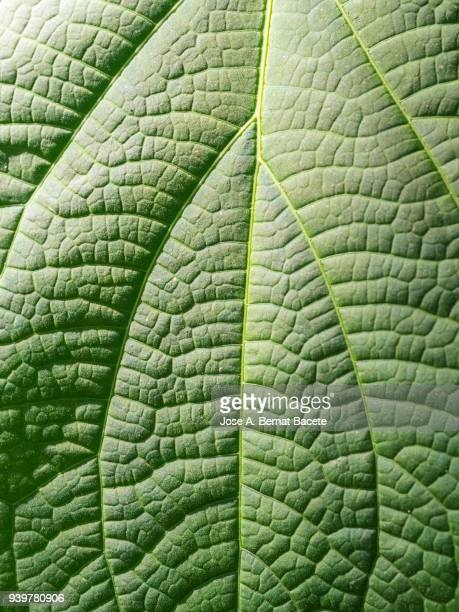 full frame, close-up of leaf green outdoors illuminated by the light of the sun . spain - rock object fotografías e imágenes de stock