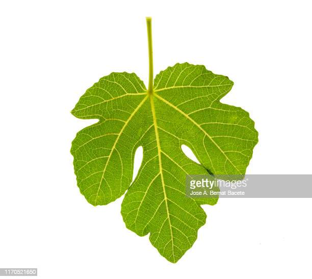 full frame, close-up of leaf of fig tree on a white background. - fig tree stock pictures, royalty-free photos & images