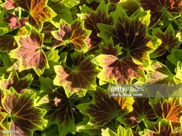 """full frame, close-up of leaf pelargonium x hotorum, """"vancouver centennial"""" outdoors illuminated by the light of the sun . spain - midsommarblomster bildbanksfoton och bilder"""