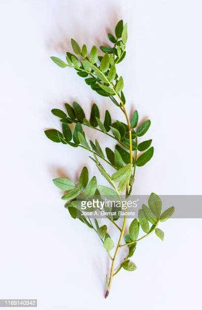full frame, close-up of leafs of (dictamnus hispanicus) on a white background. - branch stock pictures, royalty-free photos & images