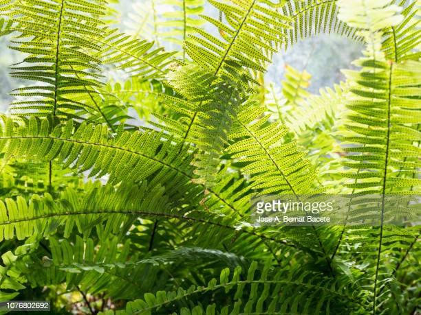 full frame, close-up of leaves green of fern outdoors illuminated by the light of the sun. - varen stockfoto's en -beelden