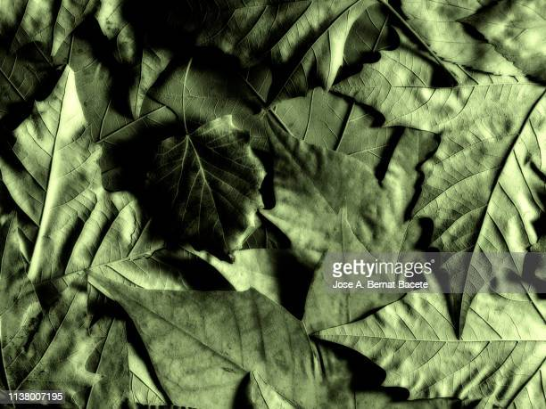 Full frame, close-up of leaves green of maple outdoors illuminated by the light of the Sun.