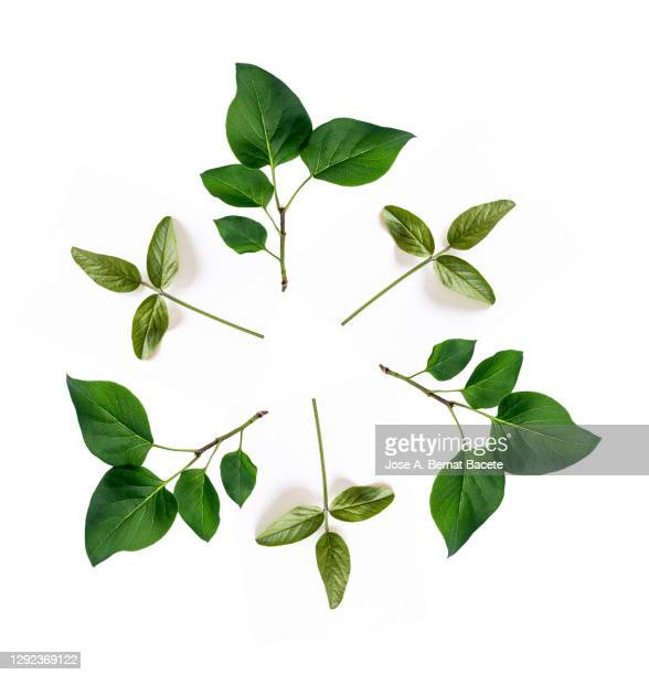 full frame, close-up of twig with green leaves  forming a circle on a white background. - leaf stock pictures, royalty-free photos & images