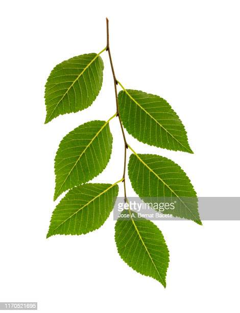 full frame, close-up of  twig with green leaves on a white background. - leaf stock pictures, royalty-free photos & images