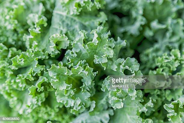 full frame fresh curly kale - kale stock photos and pictures