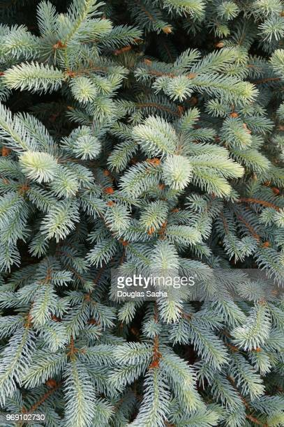 Full frame of a Blue Spruce evergreen tree (picea pungens)