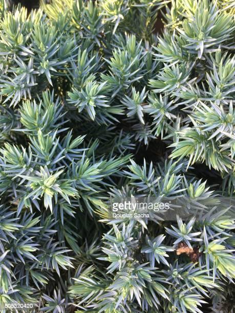 full frame of a blue star juniper plant (juniperus squamata)(hyacinthus orientalis) - squamata stock photos and pictures