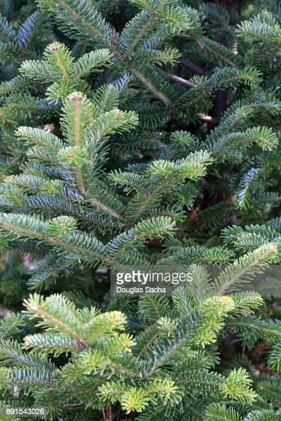 Full frame of a Canaan fir evergreen tree (Abies balsamea)