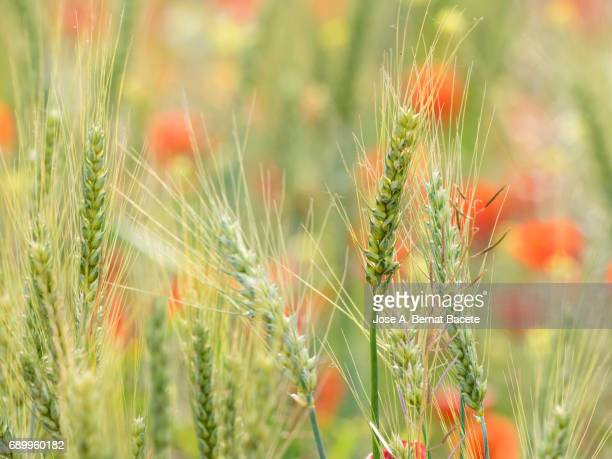 Full frame of a field of wheat with green ears and flowers of many colors