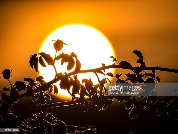 Full Frame of a sunset, with the sun hiding between the silhouettes of leaves and branches of a wild bush . Spain
