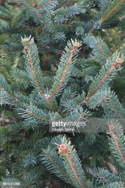 Full frame of a White Spruce tree (Picea glauca)