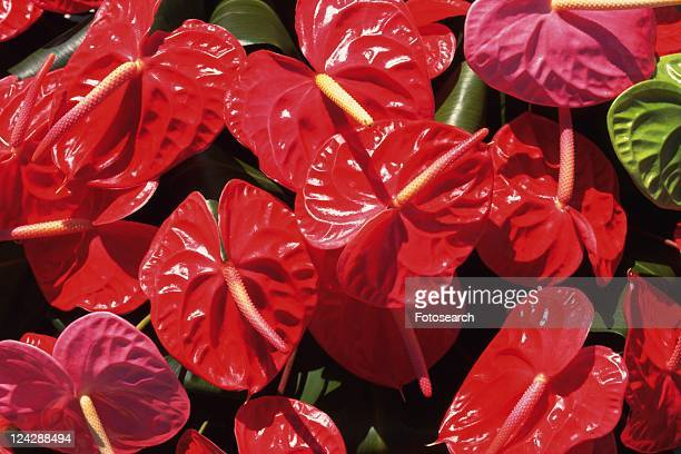 Full Frame of Anthurium Flowers, High Angle View