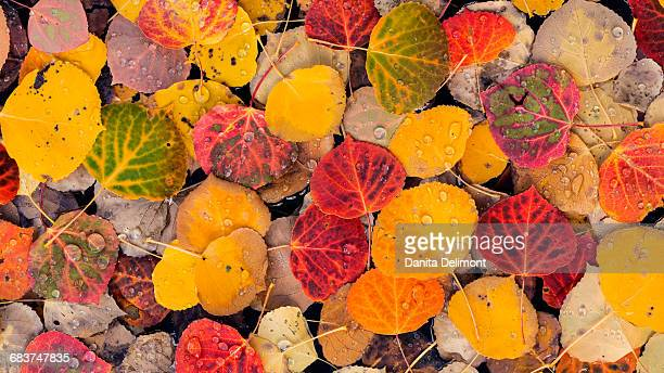 Full frame of aspen leaves, Fishlake National Forest, Utah, USA