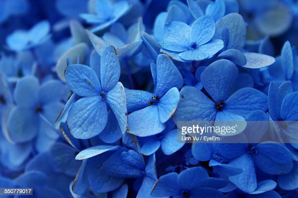 Full Frame Of Blue Hydrangea Flowers
