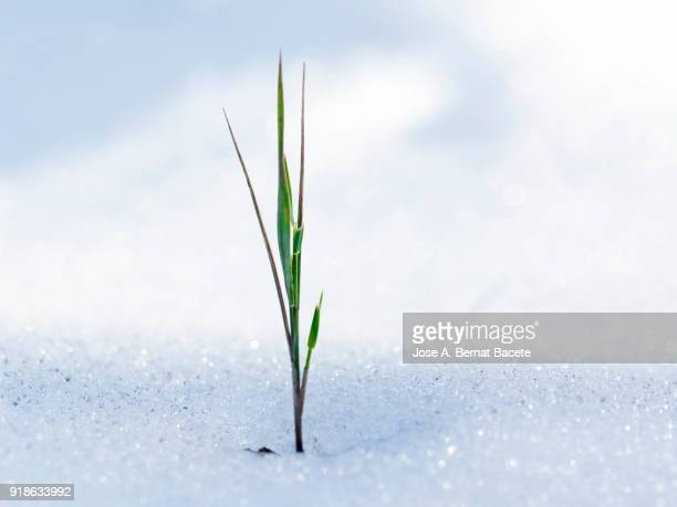 Full frame of filament of grass, young plant, which appears on between the spring snow. Spain.
