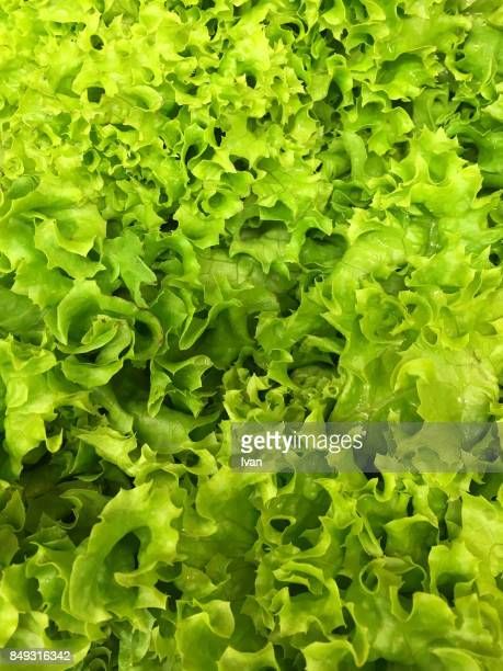 full frame of fresh lettuce - lettuce stock pictures, royalty-free photos & images