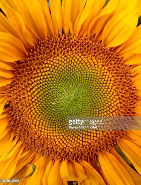 Full frame of fresh sunflower