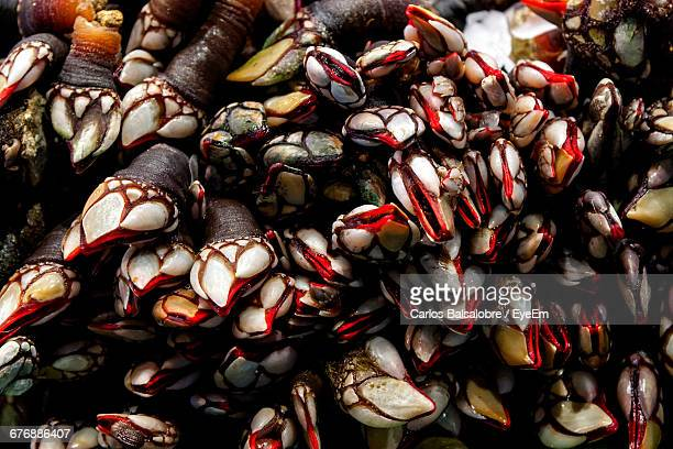 full frame of gooseneck barnacles at market - barnacle stock pictures, royalty-free photos & images