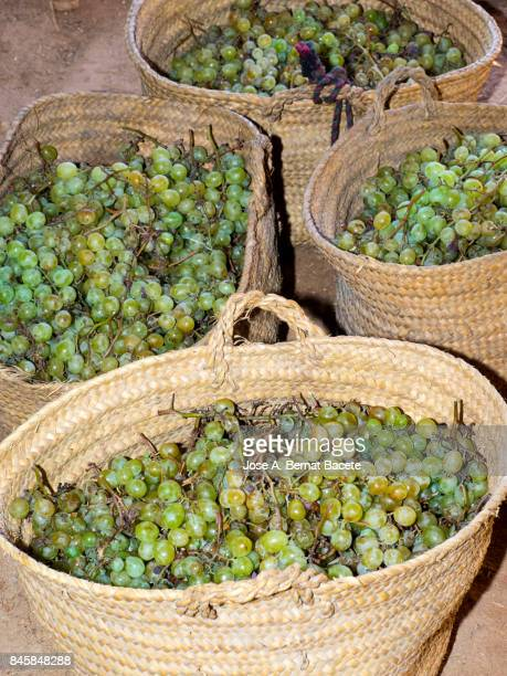 Full frame of grapes moscatel newly harvested inside hempen baskets of esparto. People of Benicolet, Valencian Community, Spain.