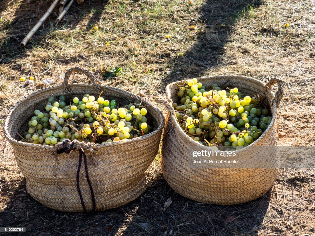 Full frame of grapes moscatel newly harvested inside hempen baskets of esparto. People of Benicolet, Valencian Community, Spain. : Foto de stock
