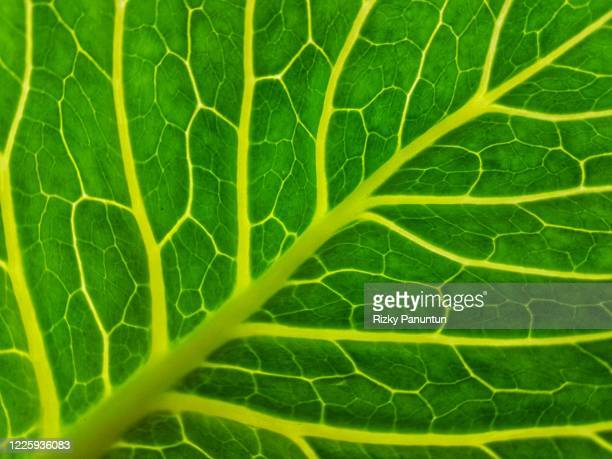 full frame of green cabbage leaf - cavolo cappuccio verde foto e immagini stock