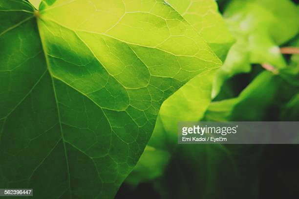 Full Frame Of Green Leaves