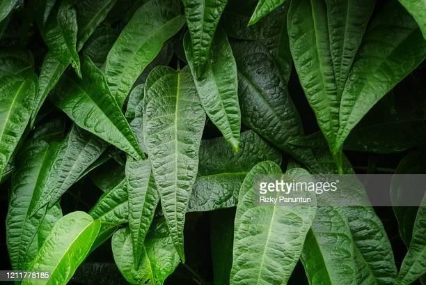full frame of green leaves texture background - 生い茂る ストックフォトと画像