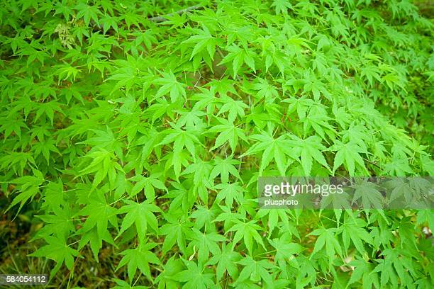 full frame of green maple leaves. kamakura, kanagawa prefecture, japan - plusphoto stock pictures, royalty-free photos & images
