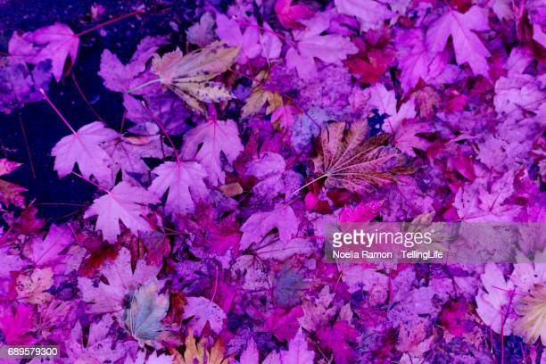 Full frame of maple leaves in pink and purple, Melbourne