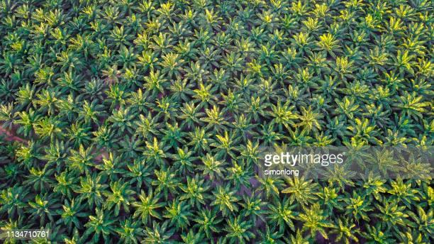 Full frame of oil palm plantation