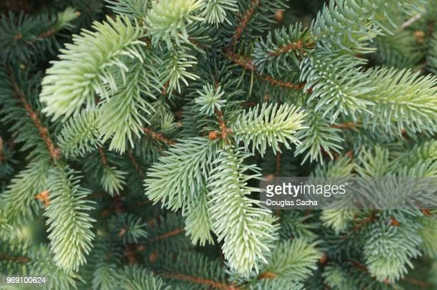 full frame of pine needles on an evergreen tree - evergreen tree stock pictures, royalty-free photos & images