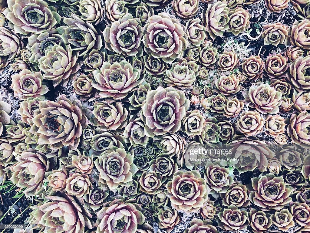 Full Frame Of Purple Succulent Plants Growing Outdoors : Stock Photo