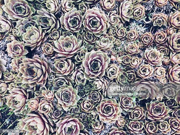 Full Frame Of Purple Succulent Plants Growing Outdoors